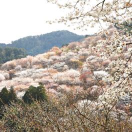 一目千本 吉野桜